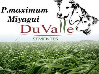 SEMENTE CAPIM MIYAGUI INCRUSTADA REVESTIDA - 10KG - DuValle Sementes - 451110 - Unitário