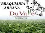 SEMENTE CAPIM ARUANA - 20KG - DuValle Sementes - 443520 - Unitário