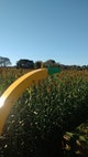 Miniatura imagem do produto Sorgo Forrageiro IAC Santa Elisa - Brseeds - BRSEEDS - 1247 - Unitário