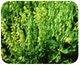 Miniatura imagem do produto Crotalária Spectabilis - Brseeds - BRSEEDS - 1113 - Unitário